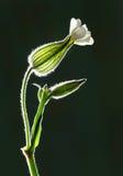 Cosses de fleur avec l'éclairage arrière Images libres de droits