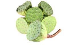 Cosses de graine de lotus, isolat sur le fond blanc Photographie stock libre de droits