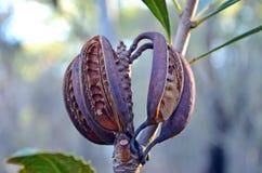 Cosses de graine de Waratah d'Australien Photo stock