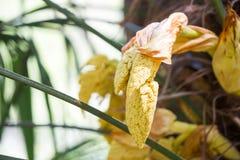 cosses de graine de palmier de moulin à vent photographie stock