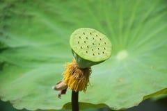 Cosses de Lotus sur le congé 001 de fond Image stock