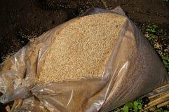 Cosses de riz, Image libre de droits