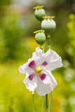 Cosses et fleur de pavot Photos libres de droits