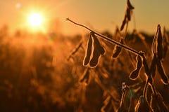 Cosses mûres de soja, rétro-éclairées en égalisant le soleil images stock