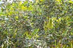 Cosses vertes de graine sur le caroubier Photographie stock libre de droits