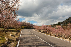 Costa Blanca during almond blossom Royalty Free Stock Photography