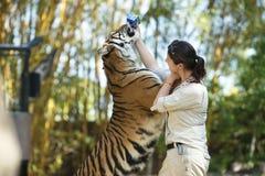 Costa da luz do sol, Queensland, Austrália - 17 de setembro de 2014: Grande tigre de Bengal no jardim zoológico de Austrália dent Fotografia de Stock