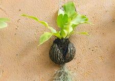 Costa de suspensão e pássaro do musgo espanhol Imagem de Stock Royalty Free