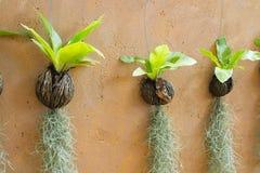 Costa de suspensão e pássaro do musgo espanhol Imagem de Stock