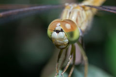 Costa delle libellule su Fotografie Stock