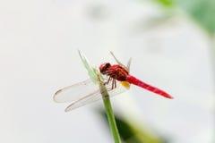 Costa delle libellule su Immagine Stock