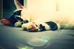 Costa do Marfim sonolento do gato Imagens de Stock Royalty Free