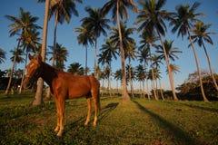 Costa e cavalo dominiquenses Imagem de Stock