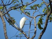 Costa Ergret rican en el árbol Fotografía de archivo libre de regalías