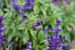 Costa hummingbird; purpury głowa, karmi na purpurowych kwiatach fotografia stock