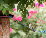 Costa'a Hummingbird rests Royalty Free Stock Photography