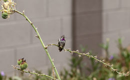 Costa'a Hummingbird rests Stock Photography