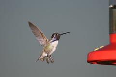 Costa-Kolibri Stockfoto