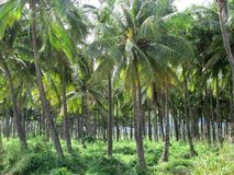 Costa norte da exploração agrícola de palmeiras de Oahu Imagens de Stock Royalty Free