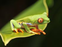 costa przyglądał się żaby zielonego czerwonego rica drzewa Obraz Stock