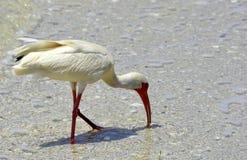 Costa que birding Imagens de Stock Royalty Free