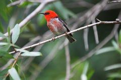 Costa Redheaded Queensland Austrália da luz do sol de Honeyeater Imagem de Stock Royalty Free
