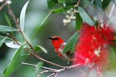 Costa Redheaded Queensland Austrália da luz do sol de Honeyeater Fotos de Stock