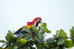 Costa Rica ar szkarłat Fotografia Royalty Free
