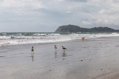 Costa Rica beach. Birds on the beach. Dog on the beach. Costa Rica beach. Birds and Dog on the beach. ocean in Costa Rica royalty free stock images