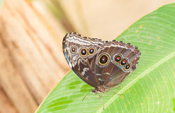 Costa Rica butterfly Royalty Free Stock Photos