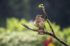 Costa Rica Clay Colored Thrush Bird en rama en lluvia fotografía de archivo