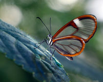 Costa Rica Clearwing Butterfly Stock Photo