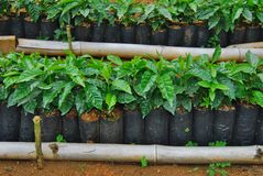 Costa Rica coffee baby plants stock Stock Image