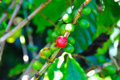 Costa Rica Coffee Berries royalty free stock photo