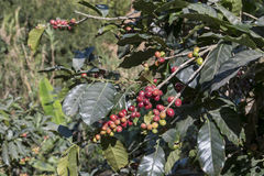 Costa Rica coffee berries Royalty Free Stock Images