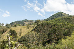 Costa Rica coffee plantation farm Stock Photography