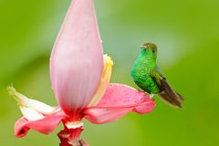 Costa Rica, Coppery-headed emerald, Elvira cupreiceps. Hummingbird in nature habitat. Bird sucking nectar beautiful red flower in. Tropic forest.  Hummingbird Stock Photos