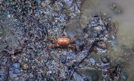 Costa Rica Crab Stock Afbeelding