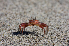 Costa Rica Crab Stock Photo