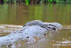 Costa Rica Crocodile resting stock images