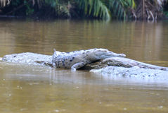 Costa Rica Crocodile resting royalty free stock images
