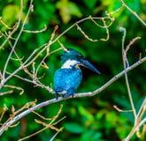 Costa Rica Fauna. Los Chiles, Costa Rica - April 4, 2017:  Amazon kingfisher Chloroceryle amazona Stock Images