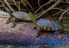 Costa Rica Fauna. Los Chiles, Costa Rica - April 4, 2017:  The red-eared slider turtle Trachemys scripta elegans Royalty Free Stock Photos