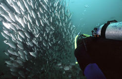 Costa Rica Fishes. Massive school of snapper in Costa Rica viewed underwater by scuba diver stock images