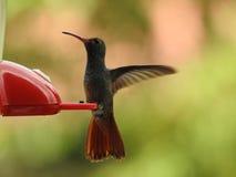 Costa Rica Hummingbird en árbol Fotos de archivo libres de regalías