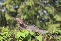 Costa Rica Iguana Fotografía de archivo