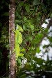 Costa Rica, Iguana Royalty Free Stock Photo