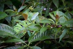 Costa Rica, Iguana Stock Images
