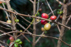 Costa Rica red and green coffee berries Royalty Free Stock Photos