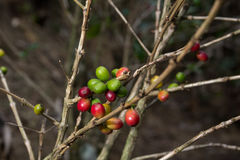 Costa Rica red and green coffee berries Royalty Free Stock Photo